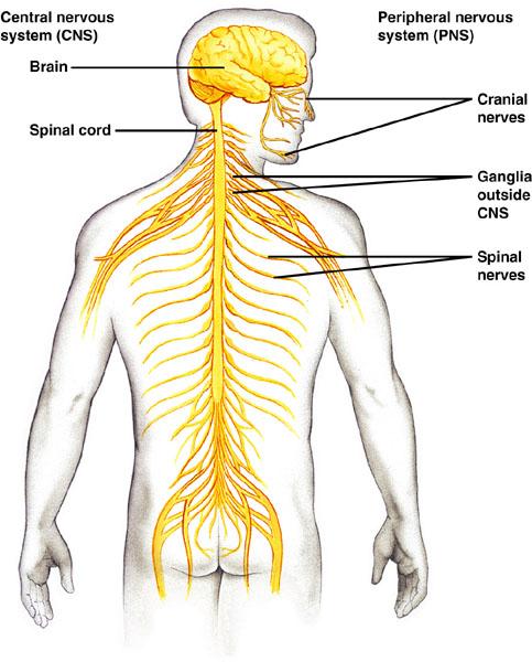 nervous system diagram flashcard
