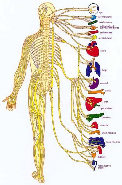 nervous system diagram labeled