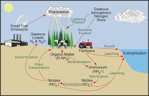 nitrogen cycle diagram and explanation