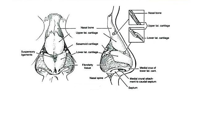 nose diagram anatomy