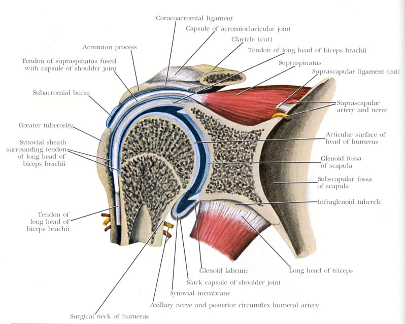 shoulder diagram labeled
