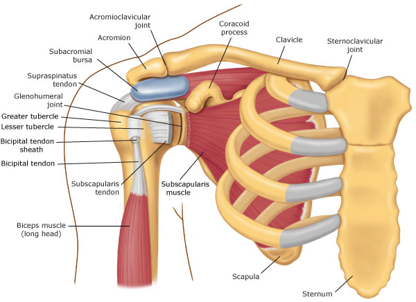 shoulder diagram labrum