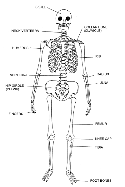 skeletal system diagram bones
