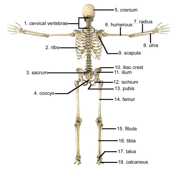 skeletal system diagram printable