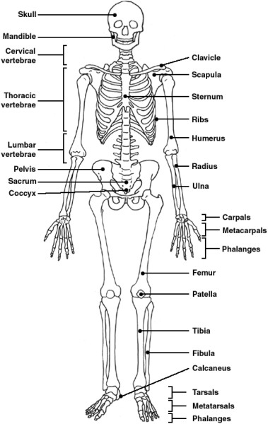 skeletal system diagram quiz