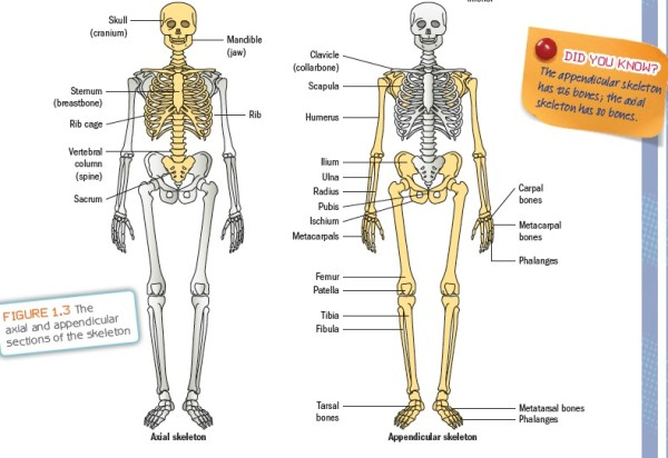 skeletal system diagram unlabeled