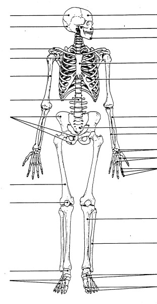 skeletal system diagram worksheet
