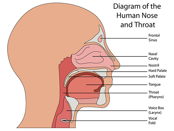 throat diagram anatomy