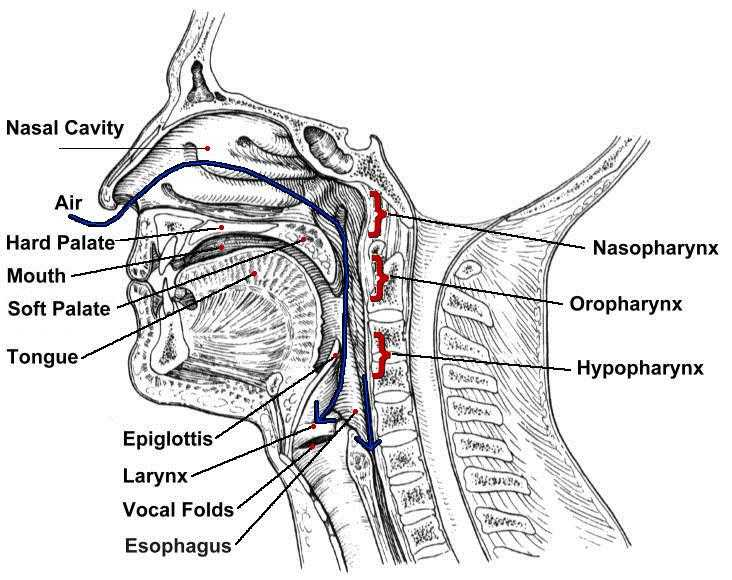 throat diagram for elementary students