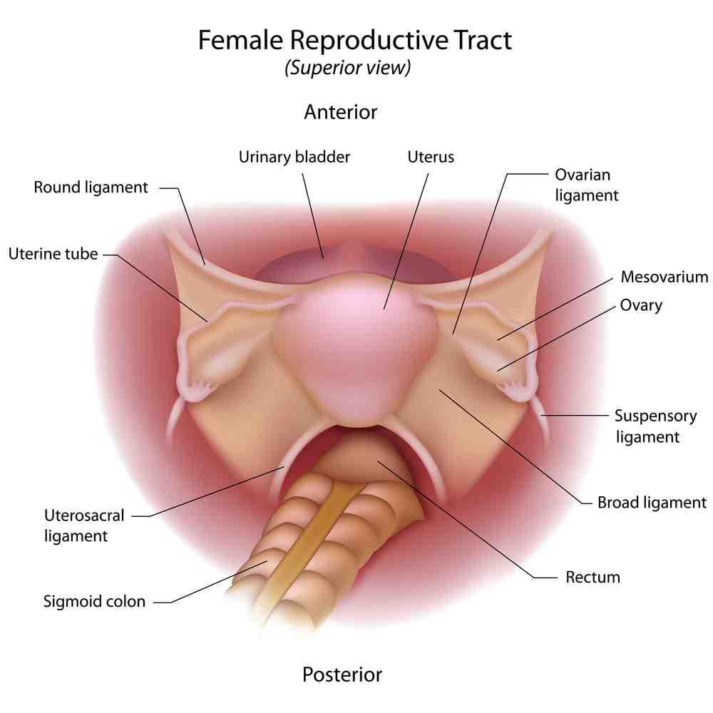 uterus diagram 4