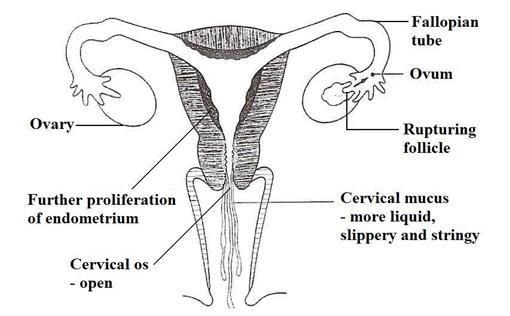 uterus diagram