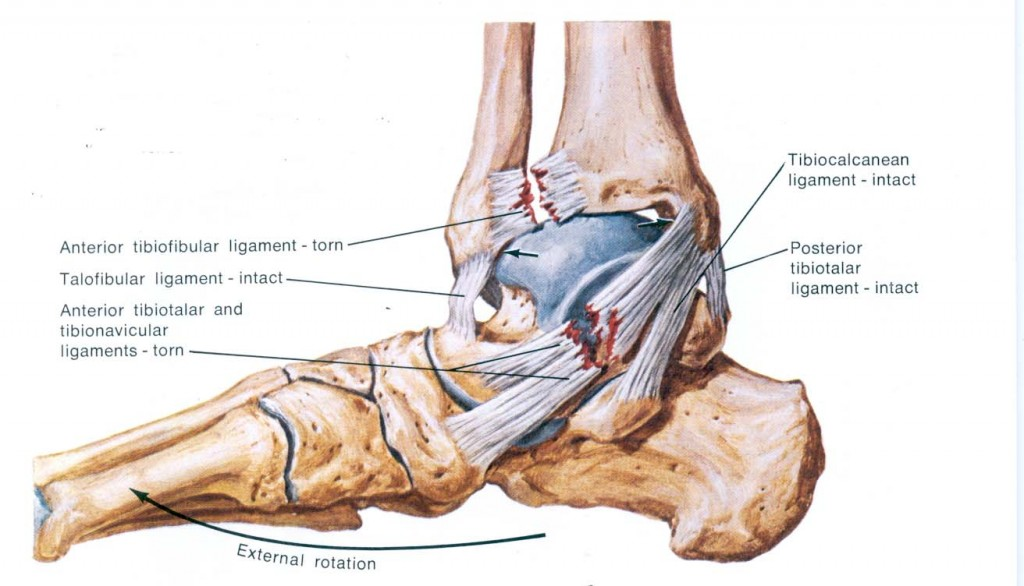 ankle diagram and ligaments