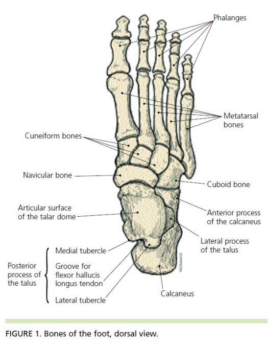 ankle diagram bones
