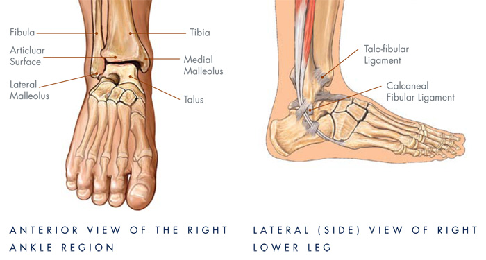 ankle diagram with ligaments