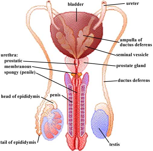 bladder diagram 3