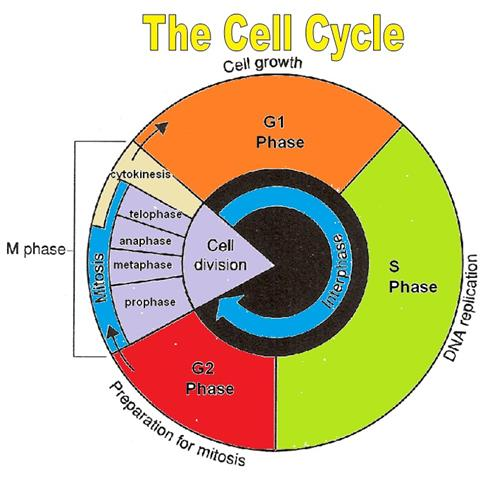cell cycle diagram blank