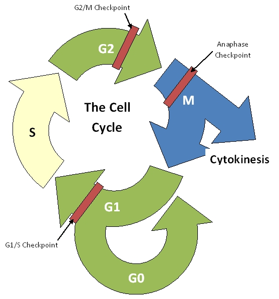 cell cycle diagram unlabeled
