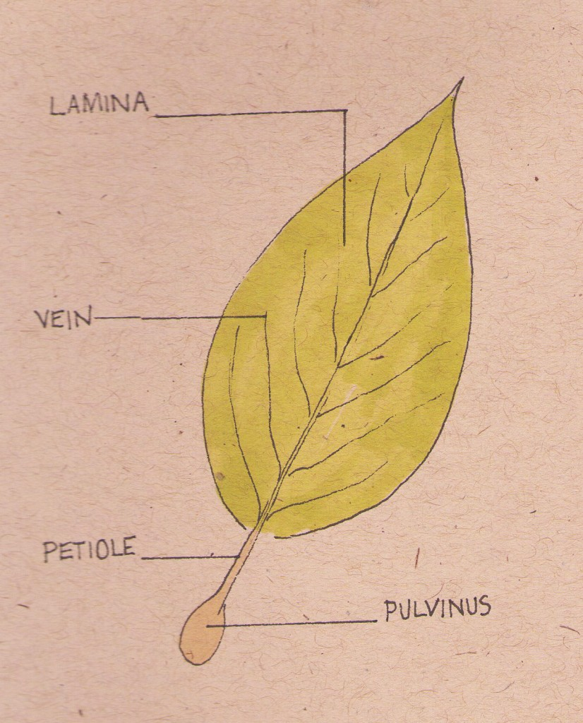 diagram of a leaf cross section