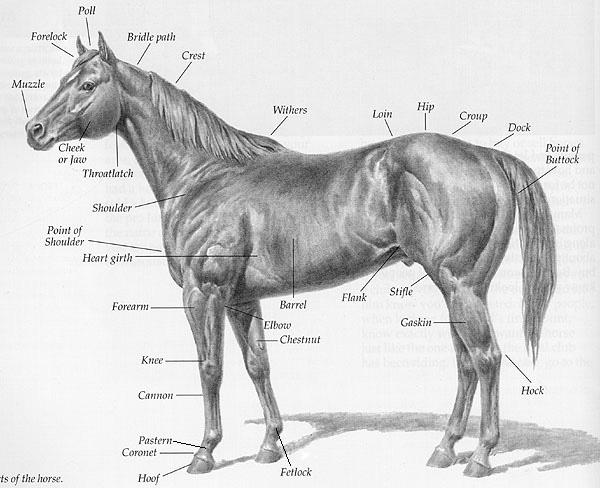 horse diagram kids