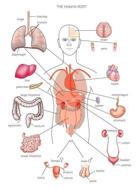 human body diagram organs