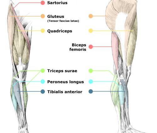 leg muscle diagram at hip