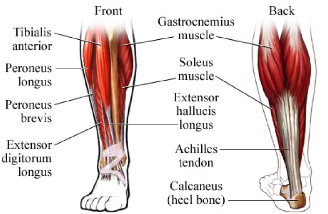 leg muscle diagram injection side