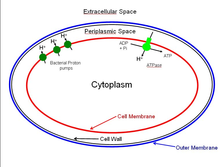 bacterial cell diagram labeled